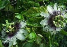 Passiflora Purple Possum 10 seeds