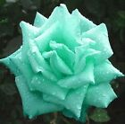 Butterfly Love Moon Green Rose Seed Mint Garden Flower Rare Plant Seed