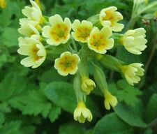 Primula vulgaris Cowslip  Lemon/Yellow 50 seeds - Perennials