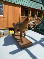 Gorgeous Red Fox Standing Mount Taxidermy Hunt Traps Deer Antlers Log Cabin