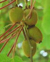 i! KLETTER-KIWI !i  Kletterpflanze die einen sonnigen Standort liebt - Obst.