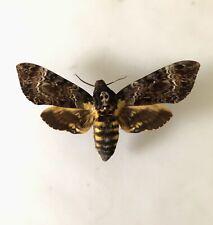 Acherontia Lachesis XL 12 cm