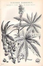 1880 Imprimé ~Botany ~ Huile de Ricin Plante Palma Christii Ricinus Communis