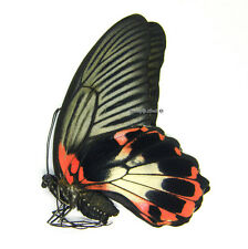 Unmounted Butterfly/Papilionidae - Papilio rumanzovia, FEMALE
