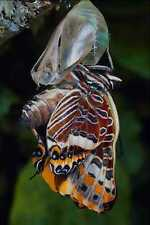 720018 Two tailed Pascha Charaxes Jasius Provence France A4 Photo Print