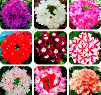 100 PCS Seeds Verbena Hybrida Plants Rare Bonsai Flowers Home Garden 2021 New D