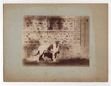 PHOTO ANCIENNE Chien de chasse en laisse Animal - Tirage albuminé - vers 1900