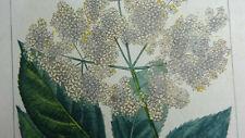 Gravure botanique - SUREAU - TURPIN, 1835 - flore médicale Chaumeton