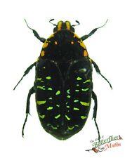 fruit beetle Euchroea clementi ripheus SET x1 cetonidae Madagascar taxidermy 0JW