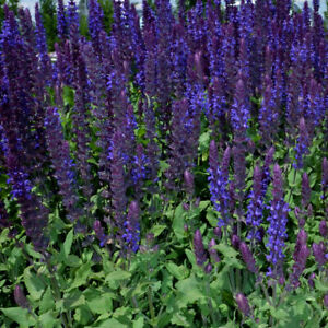 Salvia 'Salvatore' Large Plug Plant x 3. Perennial Purple Flowers. Pollinators.
