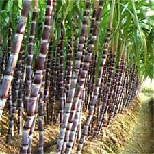 FD3516 Black Sugar-cane Seeds Rum Syrup Sweet Rock Candy Sugar Crystals 50 Seed♫