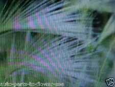 Fluffy Squirrel Tail Grass A Textured Plant Look For All Landscape & Gardens.