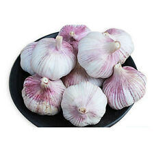Garlic Seeds 40 clove 'Early Purple Wight' Hardy Bulb(PLANTING NOW)From 4Bulbs