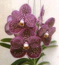 Orchid Vanda Kulwadee Fragrance Bur Song Jed