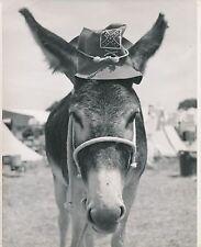 ÂNE COIFFÉ c. 1950 -  Mule Mulet Baudet  Grand Format - CH 81