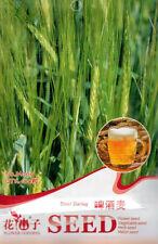 Original Pack 100 Beer Barley Seed Hordeum Vulgare Nutrient Rich Herb Plant M009