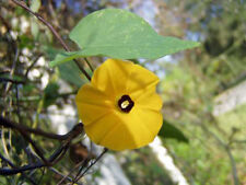 Morning Glory Ipomoea obscura v. ethiopia yellow 10 seeds