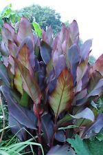 Canna musaefolia Rubrum - musifolia -1 plant