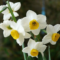 400 Narcissus Duo Bulbs Scented Pastel Mixed Daffodil Flower Seeds Double Plant