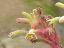 Branched Cat's Paw Seed Rarely Seen Sandy Soil No Frost Red & Cream Flower