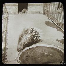 Victorian Glass Magic Lantern Slide Crested Porcupine C1890 In Captivity Zoo