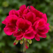 30 Geranium Mojo Cranberry Splash Live Plants Plugs Garden Diy Planters D10002