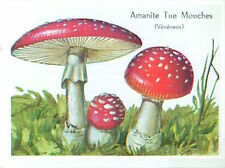 IMAGE CARD 60s Amanite Tue-Mouches Amanita muscaria Fly agaric MUSHROOM