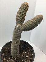 Rare and unique Tephrocactus strobiliformis cactus cacti succulent live plant