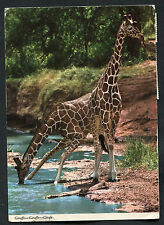 Posted 1979 from Kenya: View of Two Giraffe at a Water Hole, Africa