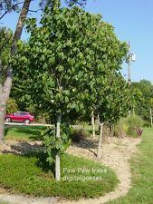 1 Lb Fresh Paw Paw Fruit Tree Seeds * Pawpaw The Indiana Banana *New Crop Seeds