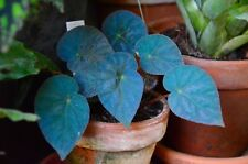 10+ Graines/Seeds Begonia pavonina/Peacock Begonia VERY RARE