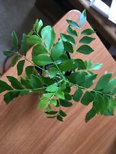 Curry leaf plant