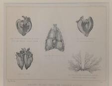 1890 Antiguo impresión Caballo Anatomia torácica vísceras corazón pulmón Litografía Original