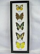 5 echte exotische Schmetterlinge im Schaukasten aus Holz Glas - Einzelstück h_04