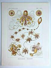1899 Ernst Haeckel Kunstformen 1st ed. Original Antique Plate #7 - Epibulia
