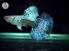 1 Pair- Green Dragon Indo Live Guppy Fish Grade A High Quality VIP
