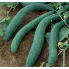 Armenian Dark Green Cucumber 1.8 Gram (Approximately 50 Seeds) USA Seller