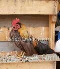 Bantam hatching Eggs - Mixed Breeds - 6 Eggs