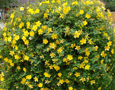 Garden shrubs HYPERICUM plants St John's Wort YELLOW FLOWERS hardy border bushes