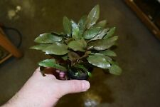 Cryptocoryne wendtii 'Brown' - Foreground Aquatic Plant