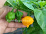 Scotch Brain Chilli - Created from Scotch Bonnet X Yellow Brainstrain - OZ Grown