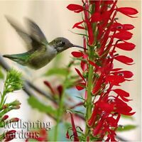 Cardinal Flower Lobelia cardinalis LIVE PLANT red garden