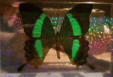 Butterfly Papilio Palinurus Frame Display