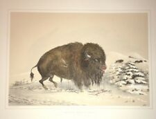 Wounded Buffalo Bull,George Catlin, 1970 Original Lithograph,Hand colored