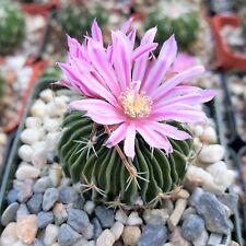 Echinofossulocactus Multicostatus Cactus Live Succulent Brain Plant
