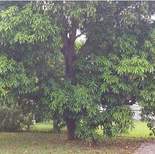 1000+ Dry Organic Mango Leaves  Cooking,Tea,Diabetes,Herbal,Health Food,Medicine