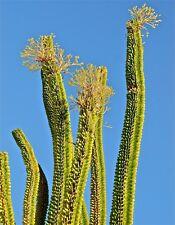 Alluaudia procera Madagascar Ocotillo Fouquieria splenden exotic seed 10 SEEDS