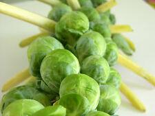 Brussel Sprout # Cabbage Seeds (Pack of 25 Seeds) V-009