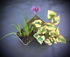 Pflanzenset für Teich und Insel - Set 1  mit 3 verschiedenen Pflanzen