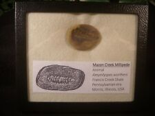 Mazon Creek Fossil Amynilyspes wortheni Millipede Collected Mazon Creek Awesome